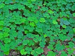 green clover on the forest cover