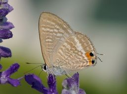 butterfly with transparent wings on a purple flower