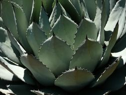 green prickly agave in the wild