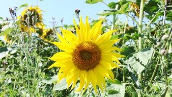 beautiful and delightful sunflower