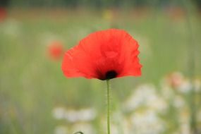 Red poppy flower blossomes