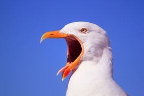 seagull with an orange open beak