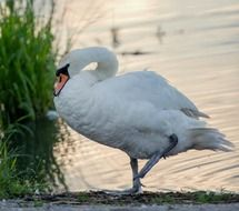 white swan is a noble bird