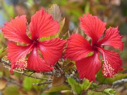 Two red hibiscus on bush