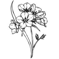 drawing of the flowers