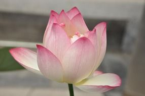 pink lotus flower close-up