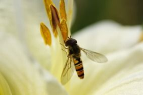 hoverfly on stamens of yellow flower