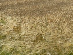 field of wheat spikelets