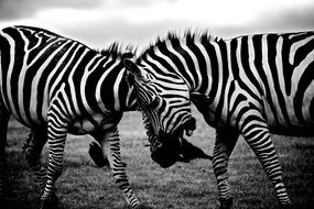 two zebras in black and white background