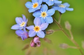 forget me not blossoms on a blurred background