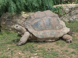 giant land tortoise in the zoo