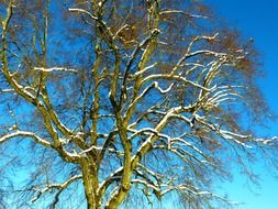 A tree in the snow against a blue sky