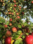 apple tree harvest season