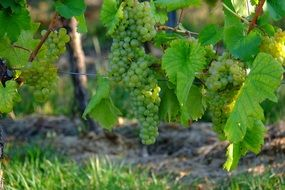 growing of the White grape