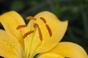 Yellow lily flower close-up