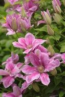 tender pink clematis blossom