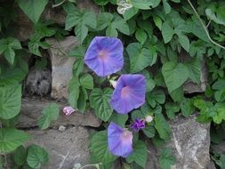 Violet flowers of the plant in the garden