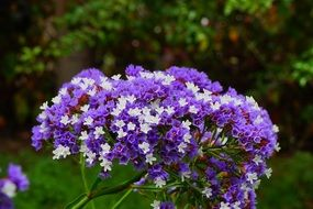 blue winged beach lilac flower