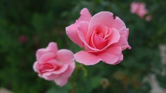 tender rose flower blossom