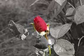 red rose in leaves