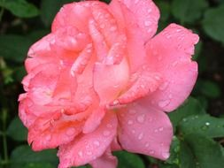 garden rose and water drops