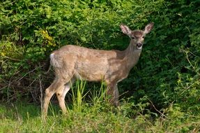 white-tailed deer among green forest