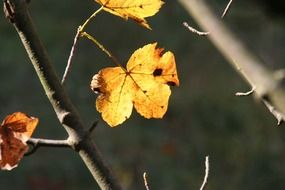 lonely autumn leaves on a bare branch in October