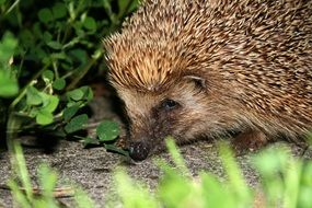 cute hedgehog in wildlife