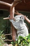 koala is hanging on a branch in the reserve