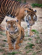 tigers sumatran big cats