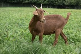 farm brown goat