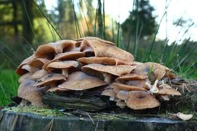 mushrooms on a stump as a sign of autumn