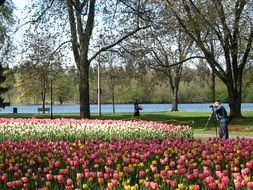 blooming tulips in the park