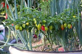 ripening small chilli peppers