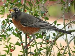 very beautiful american robin bird