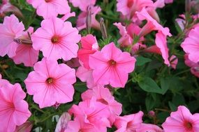 pink petunias blooming outdoor