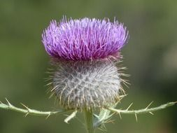 Beautiful purple thistle plany