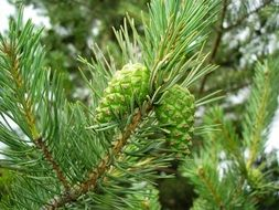 green cones on a pine branch in the forest