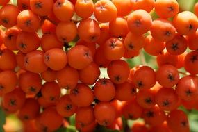 Bright orange fruits of the rowan