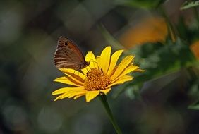 brown butterfly on a bright yellow flower