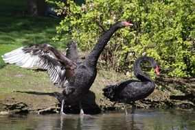 two black swans on the lake