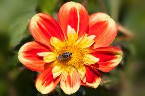 Bee on a yellow-red ornamental flower