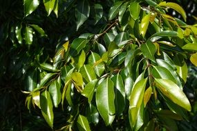 green glossy tree leaves