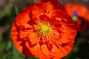 orange iceland poppy flower