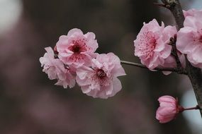 Gently pink cherry blossom