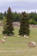 hay bales on the field