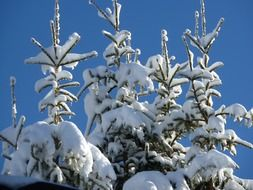 fir tops in snow