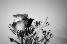 Black and white image of a rose