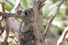 marsupial koala on a tree trunk