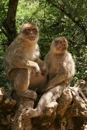 two macaques on a tree
